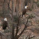 Wild Bald Eagles
